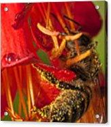 Bee In Flower Acrylic Print