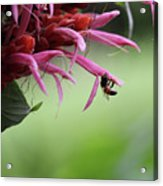 Bee In Kauai Acrylic Print