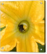 Bee In Squash Blossom Acrylic Print