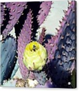 Bee In The Cactus Flower  Acrylic Print