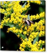 Bee In The Rawweed Acrylic Print