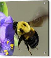 Bee Landing On Spiderwort Flower Acrylic Print