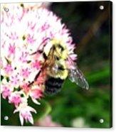 Bee-line 2 Acrylic Print