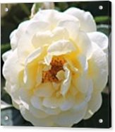 Bee My Rose Acrylic Print