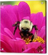 Bee On A Hot Pink Zinnia Acrylic Print