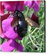 Bee On A Sweetpea 2 Acrylic Print