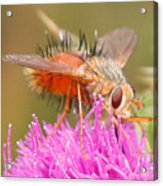 Bee On A Thistle Acrylic Print
