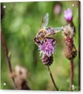 Bee On A Thistle Flower Acrylic Print