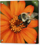 Bee On Aster Acrylic Print