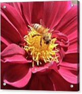 Bee On Beautiful Dahlia Acrylic Print