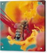 Bee On Bird Of Paradise 100 Acrylic Print by Diane Backs-Mancuso
