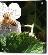 Bee On Blackberry Blossom Acrylic Print