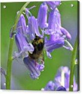 Bee On Bluebell Acrylic Print