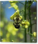 Bee On Broccoli Flower Acrylic Print