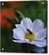 Bee On Daisy Acrylic Print