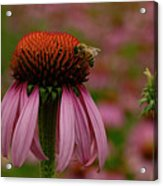 Bee On Echinacea Acrylic Print