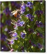 Bee On Echium Acrylic Print