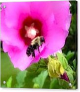 Bee On Edge Of A Hibiscus Flower Acrylic Print