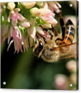 Bee On Flower 1 Acrylic Print