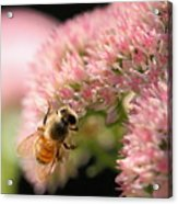 Bee On Flower 3 Acrylic Print