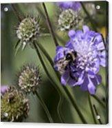 Bee On Flower 4. Acrylic Print
