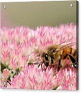 Bee On Flower 5 Acrylic Print
