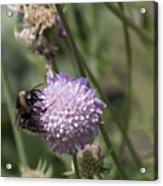 Bee On Flower 5. Acrylic Print