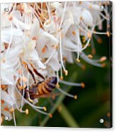 Bee On Flowers 1 Acrylic Print
