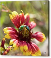Bee On Gaillardia Acrylic Print