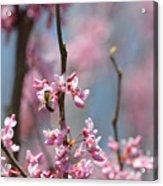 Bee On Pink Bloom Acrylic Print
