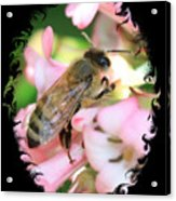 Bee On Pink Flower With Swirly Framing Acrylic Print