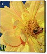 Bee On Pretty Dahlia By Kaye Menner Acrylic Print