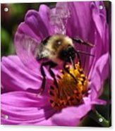 Bee On Purple Flower Acrylic Print