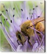 Bee On Purple Acrylic Print