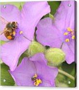 Bee On Purple Spiderwort Acrylic Print