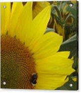 Bee On Sunflower 1 Acrylic Print