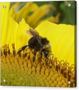 Bee On Sunflower 2 Acrylic Print