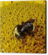 Bee on Sunflower 4 Acrylic Print