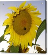 Bee On Sunflower 5 Acrylic Print