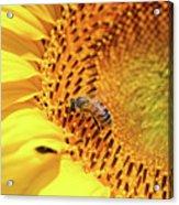 Bee On Sunflower Summer Nature Scene Acrylic Print