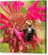 Bee On Tea Bloom Acrylic Print