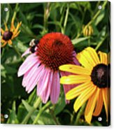 Bee On The Cone Flower Acrylic Print