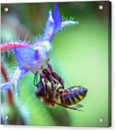 Bee On The Flower Acrylic Print
