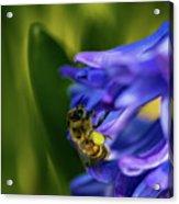 Bee On The Hyacinth Acrylic Print