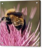 Bee On Thistle 102 Acrylic Print by Diane Backs-Mancuso