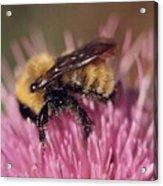 Bee On Thistle 103 Acrylic Print