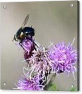 Bee On Thistle Acrylic Print