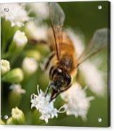 Bee On White Acrylic Print