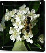 Bee On White Flowers 2 Acrylic Print