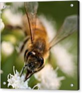 Bee On White Vertical Acrylic Print